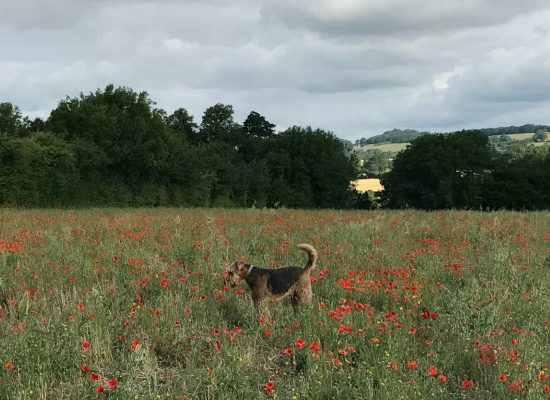 Basil_Does_Poppies_Featured