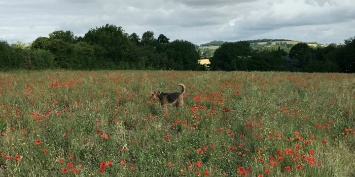 Basil_Does_Poppies_News